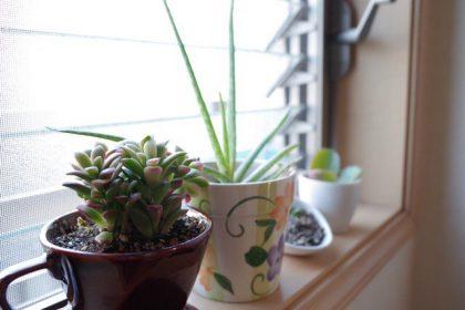 窓際の多肉植物