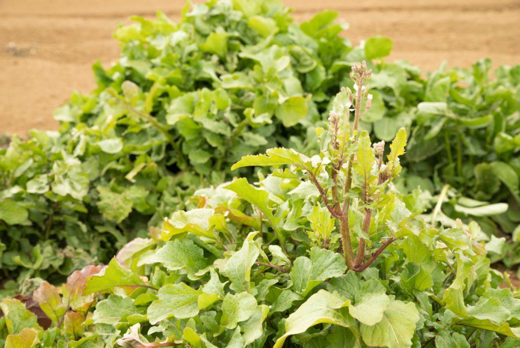 キレドの野菜_02