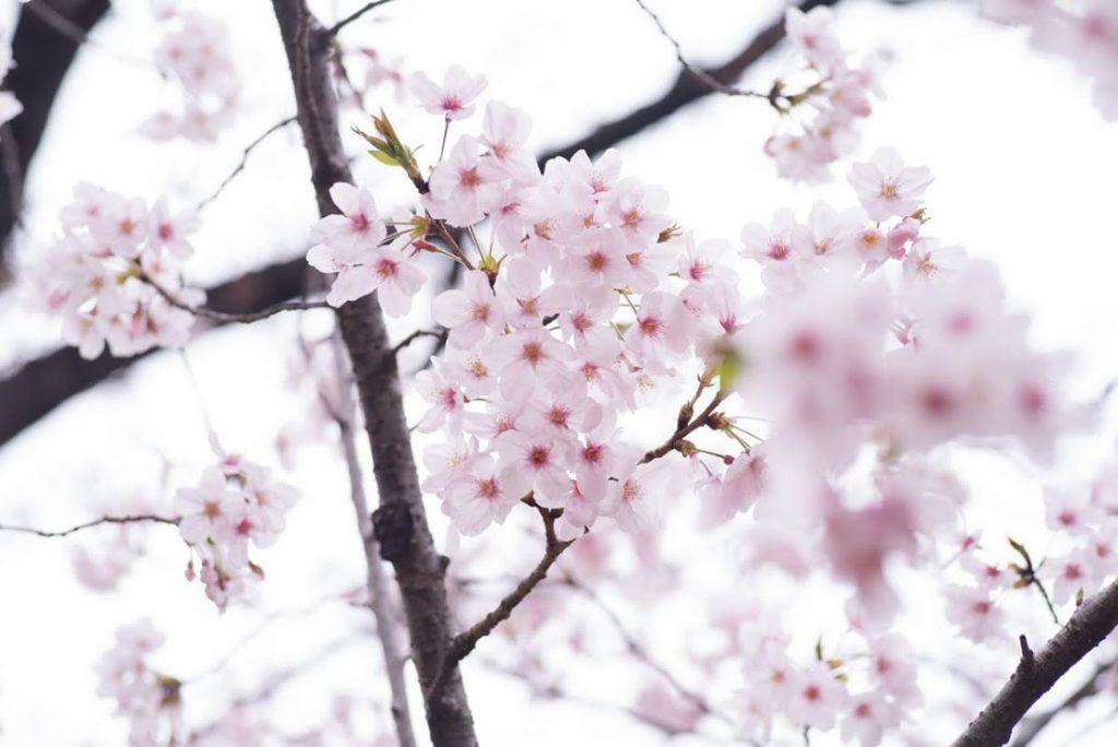 桜ウォーク2019_04
