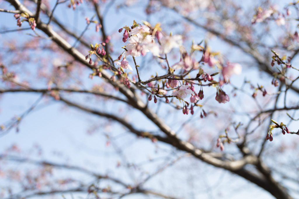 2020年の桜_03