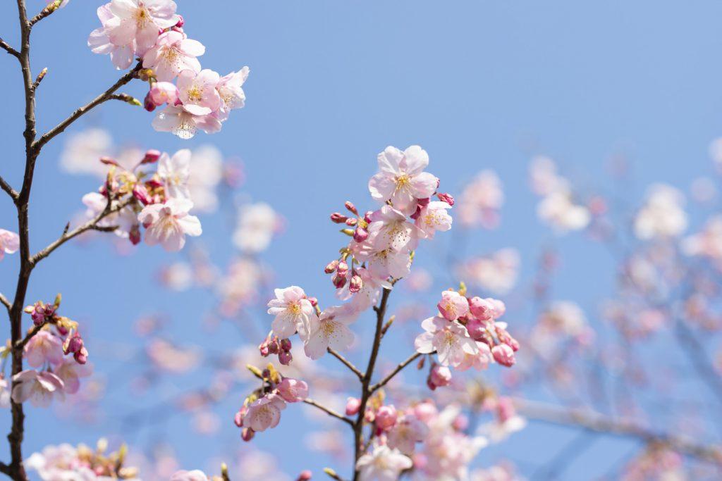 2020年の桜_01
